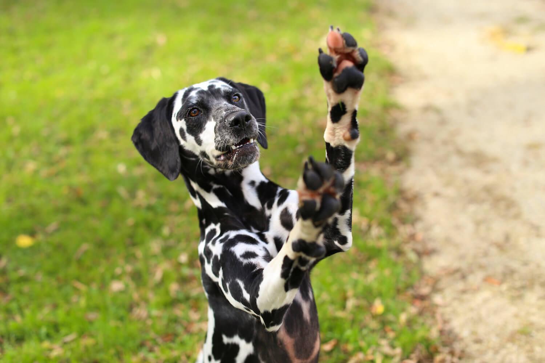 Rollover Pet Highlight - Random the Dalmatian - Rollover Pet Food